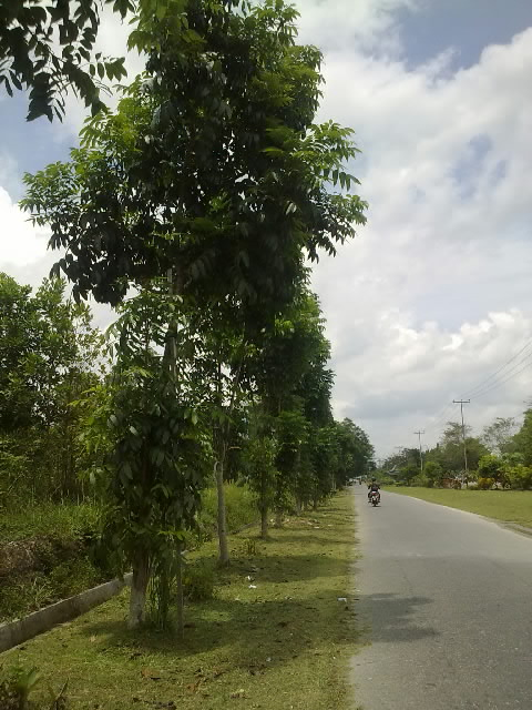 pohon .jpg
